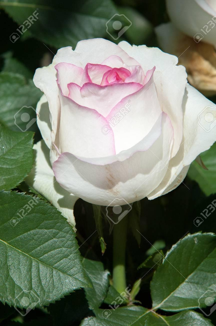 Rose a prickly bush or shrub that typically bears red pink rose a prickly bush or shrub that typically bears red pink yellow mightylinksfo
