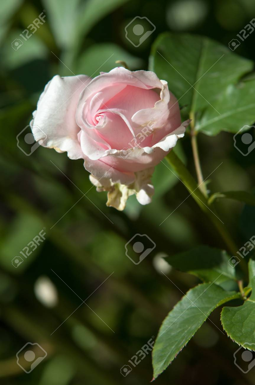 Rose A Prickly Bush Or Shrub That Typically Bears Red Pink