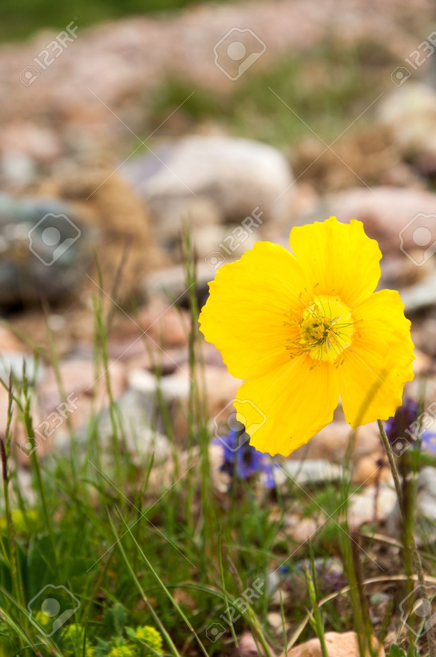 Yellow poppies a herbaceous plant with showy flowers milky stock stock photo yellow poppies a herbaceous plant with showy flowers milky sap and rounded seed capsules many poppies contain alkaloids and are a source mightylinksfo