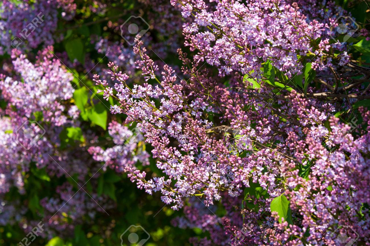 Lilac Bush Branch With Spring Lilac Flowers Lilacs Bloom In