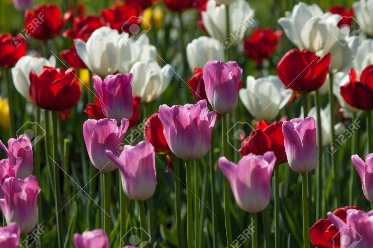 Tulips bulbous plant seeds lily flowers with large cup shaped bulbous plant seeds lily flowers with large cup shaped beautiful bouquet of tulips colorful tulips tulips in spring izmirmasajfo