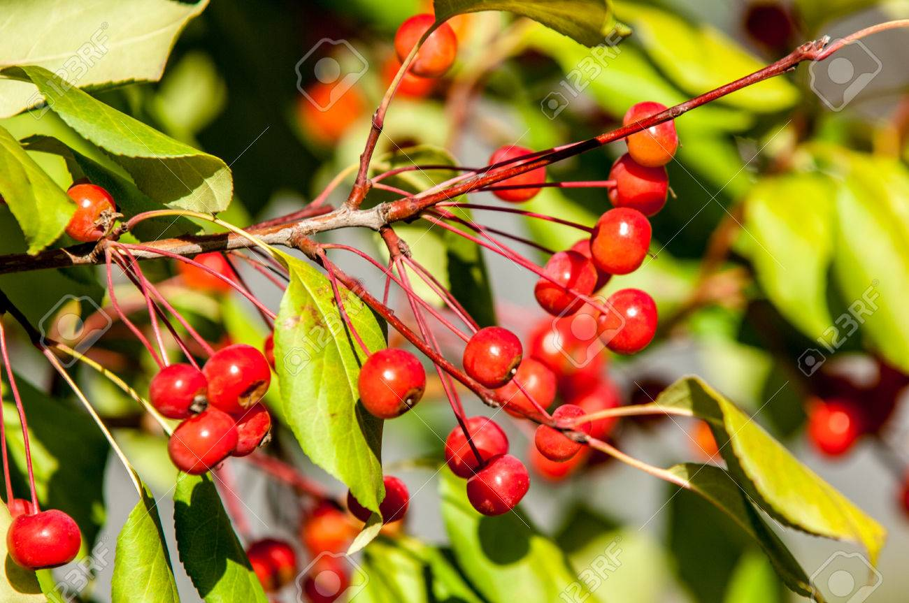 Crab Apple With Small Red Fruit