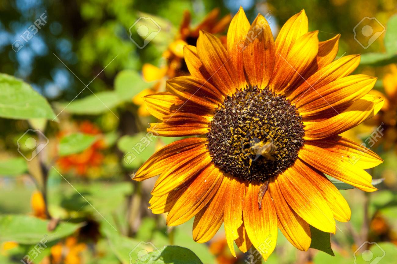 Sunflower helianthus a tall north american plant of the daisy stock photo sunflower helianthus a tall north american plant of the daisy family with very large golden rayed flowers sunflowers are cultivated for izmirmasajfo Gallery