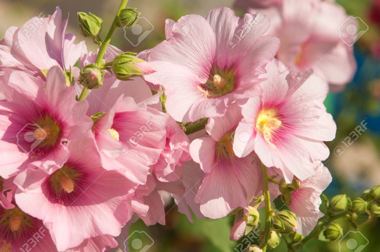 Mallow a herbaceous plant with hairy stems pink or purple flowers mallow a herbaceous plant with hairy stems pink or purple flowers and disk mightylinksfo