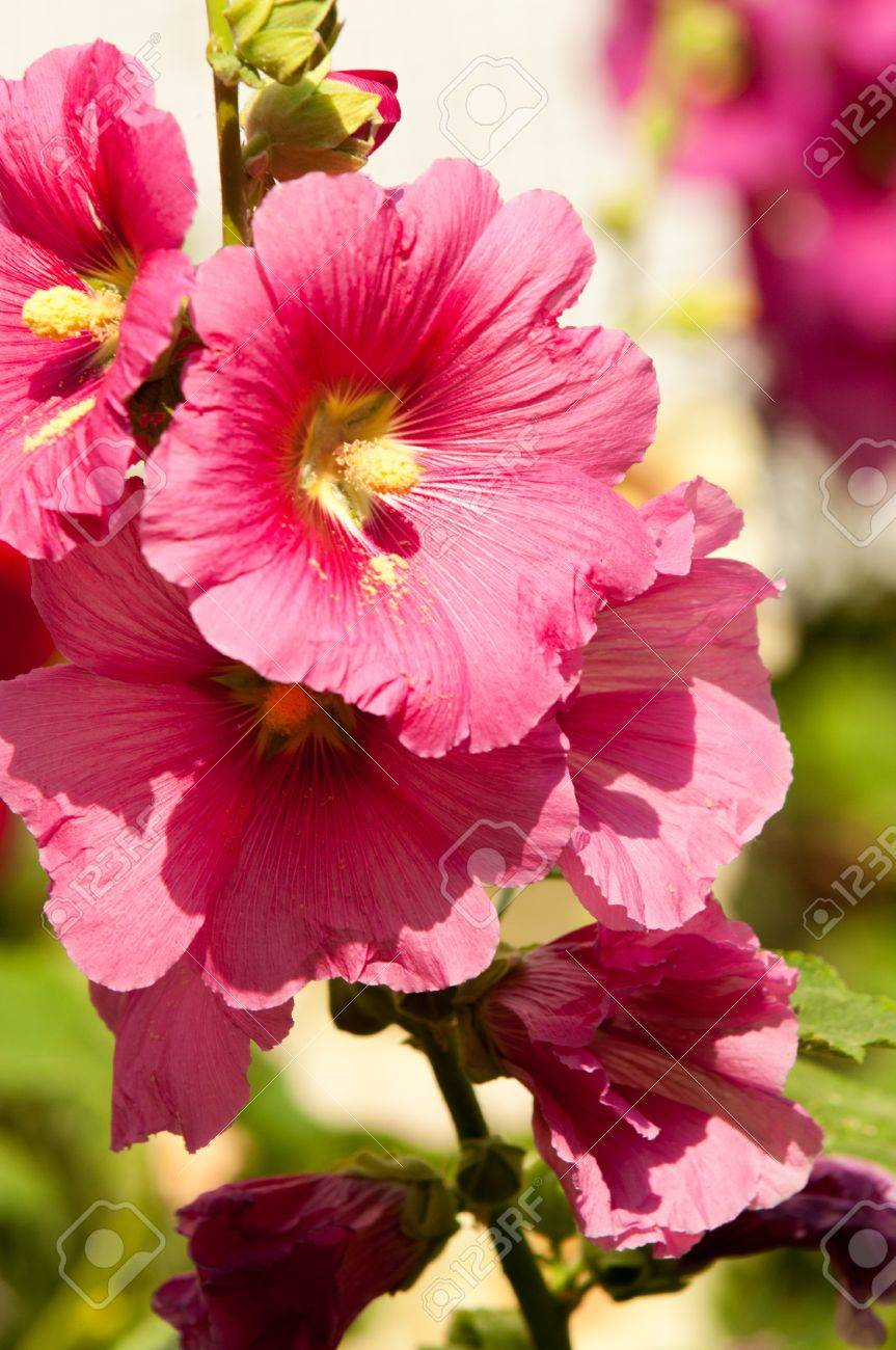 Mallow A Herbaceous Plant With Hairy Stems Pink Or Purple Flowers