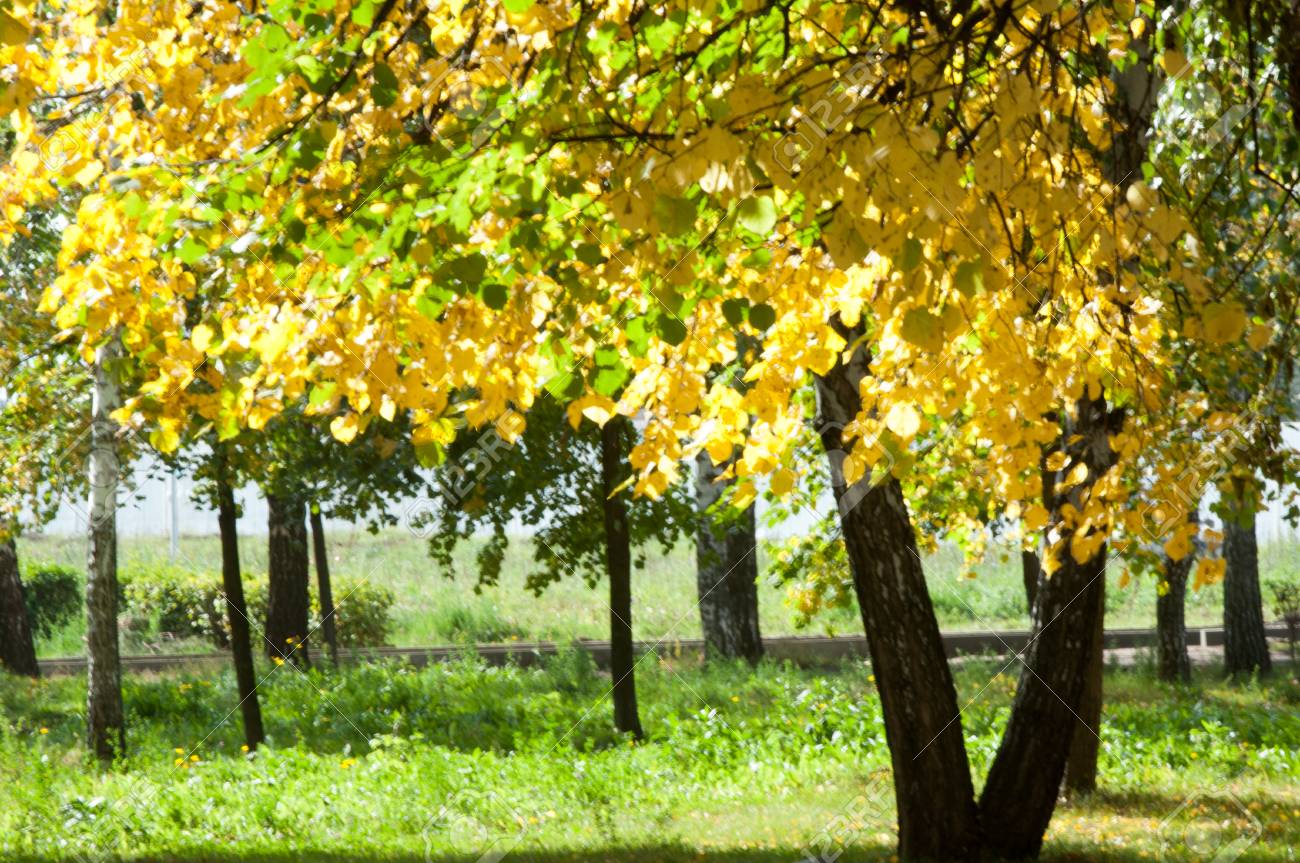 Gaussian Blur. Autumn In The Park, Linden Trees Dropped Leaves ...