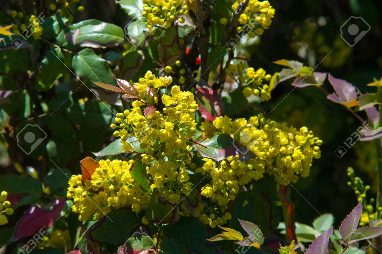 Flowers barberry a thorny shrub that bears yellow flowers and flowers barberry a thorny shrub that bears yellow flowers and red or blue black dhlflorist Gallery