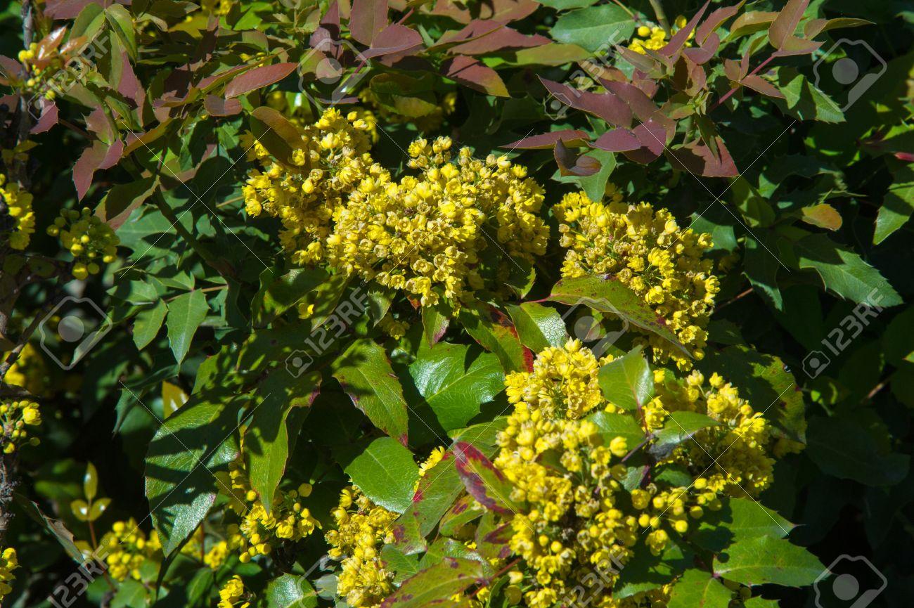 Fleurs Barberry Un Arbuste Epineux Qui Porte Des Fleurs Jaunes Et