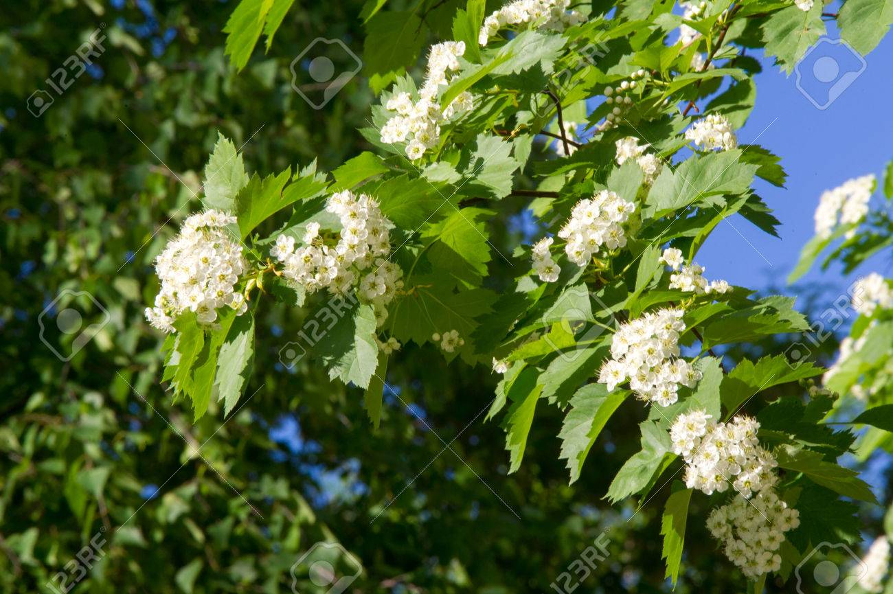 Hawthorn Flowers A Thorny Shrub Or Tree Of The Rose Family Stock