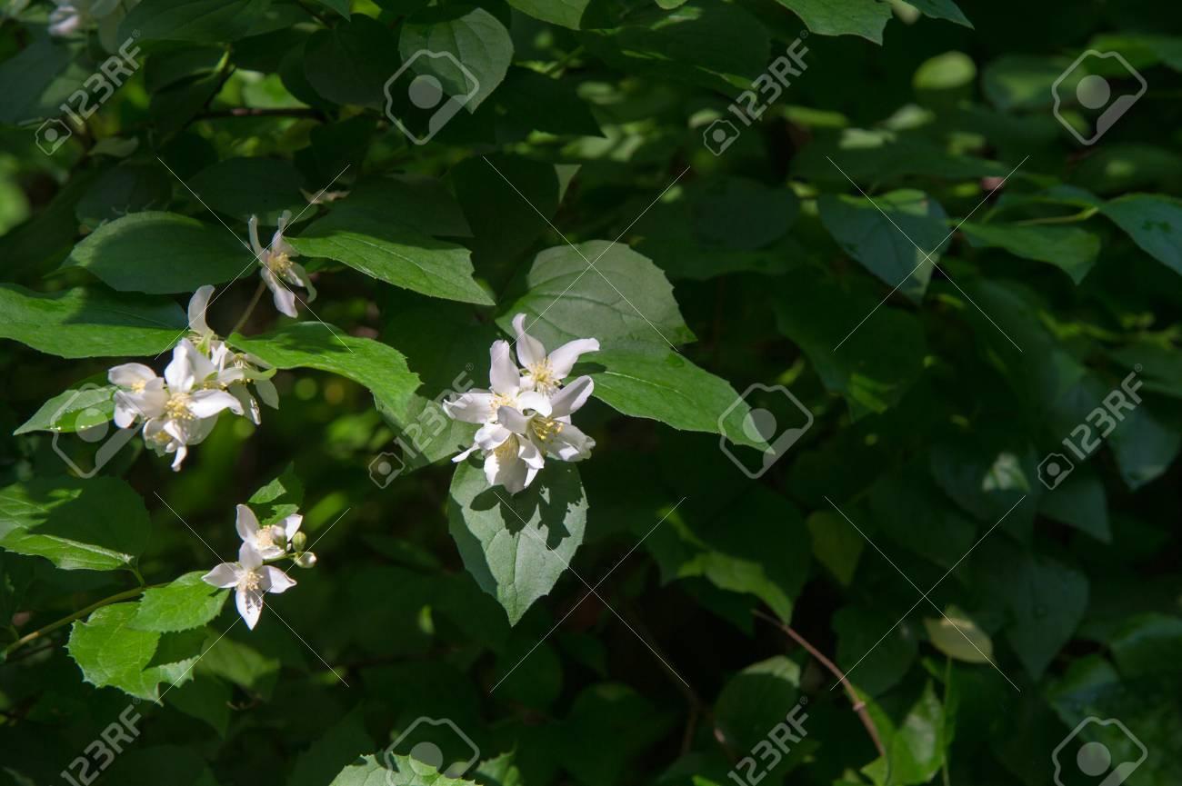 fleurs de jasmin. un arbuste ou plante grimpante vieux monde qui