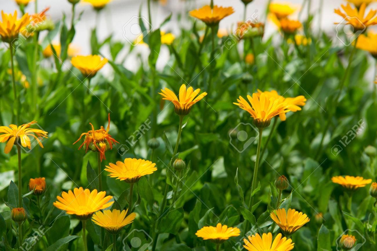 calendula, ou calendula (calendula), - merveilleux orange