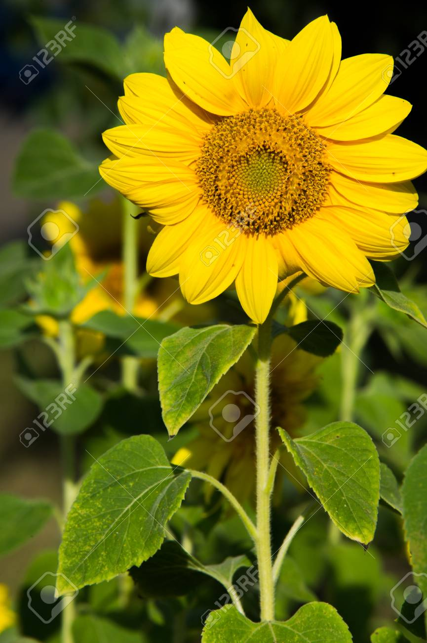 Sunflower a tall north american plant of the daisy family with stock photo sunflower a tall north american plant of the daisy family with very large golden rayed flowers sunflowers are cultivated for their edible izmirmasajfo