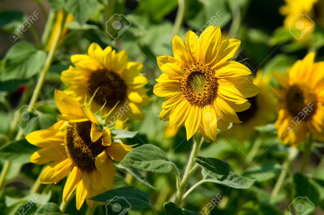 Sunflower a tall north american plant of the daisy family with stock photo sunflower a tall north american plant of the daisy family with very large golden rayed flowers sunflowers are cultivated for their edible izmirmasajfo Gallery