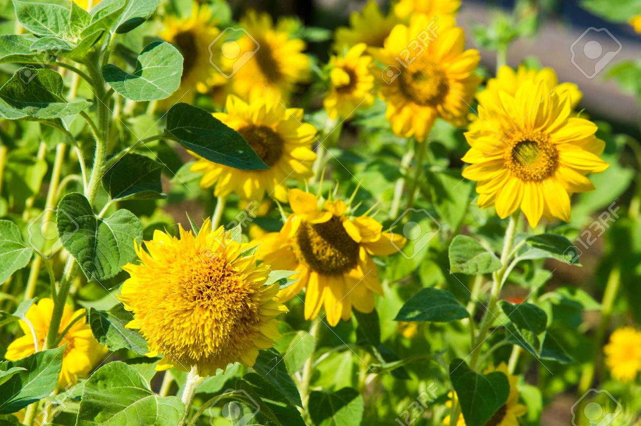 Sunflower A Tall North American Plant Of The Daisy Family With
