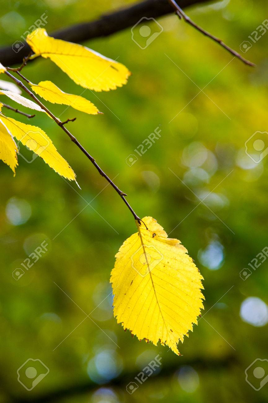 Leaves Fall Elm, Large Deciduous Tree With Solid Wood. Stock Photo ...