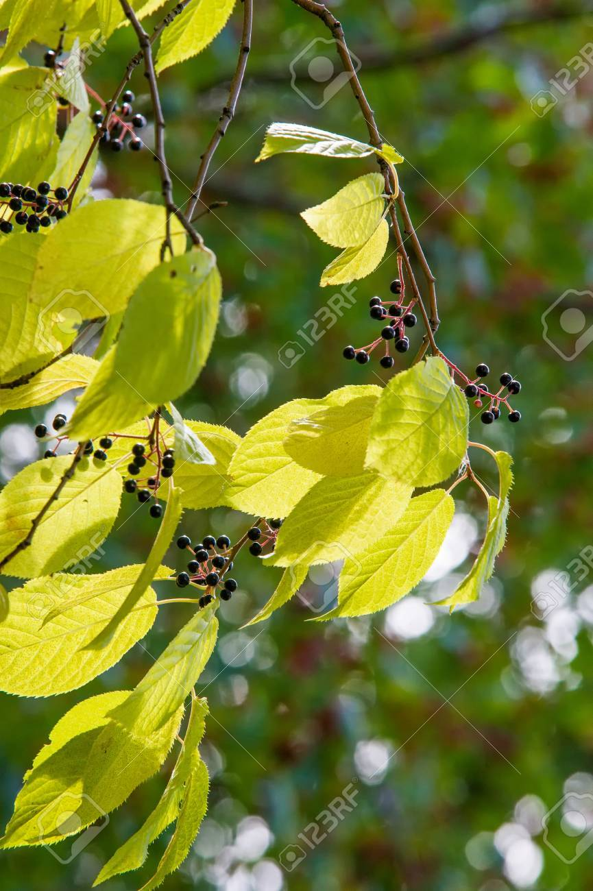 Bird Cherry Black Berries Autumn Leaves Backlight Tree With