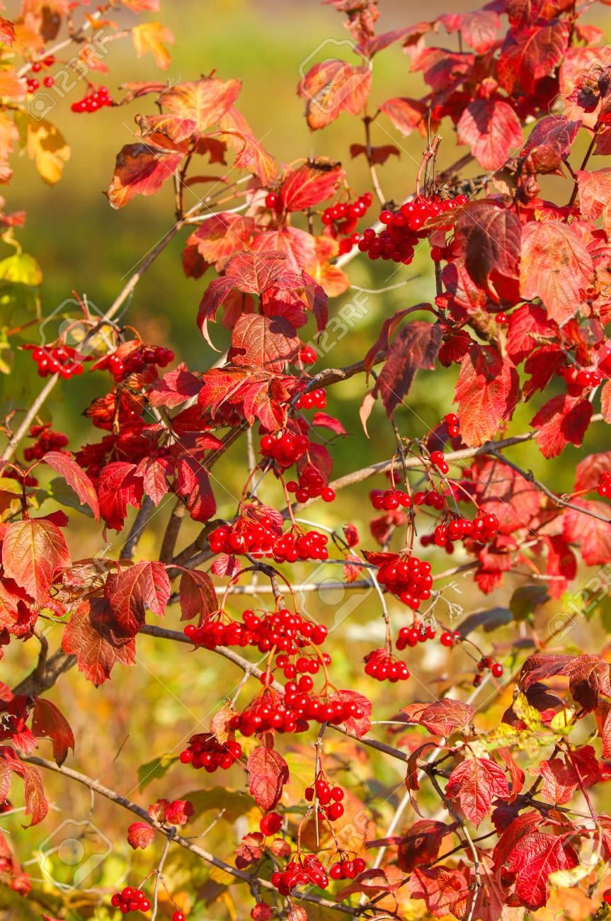 Texture Pattern Background Viburnum Autumn Shrub With White