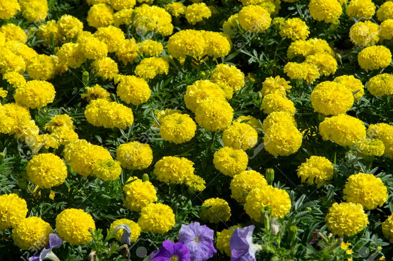 Marigolds Flowers A Plant Of The Daisy Family Typically With