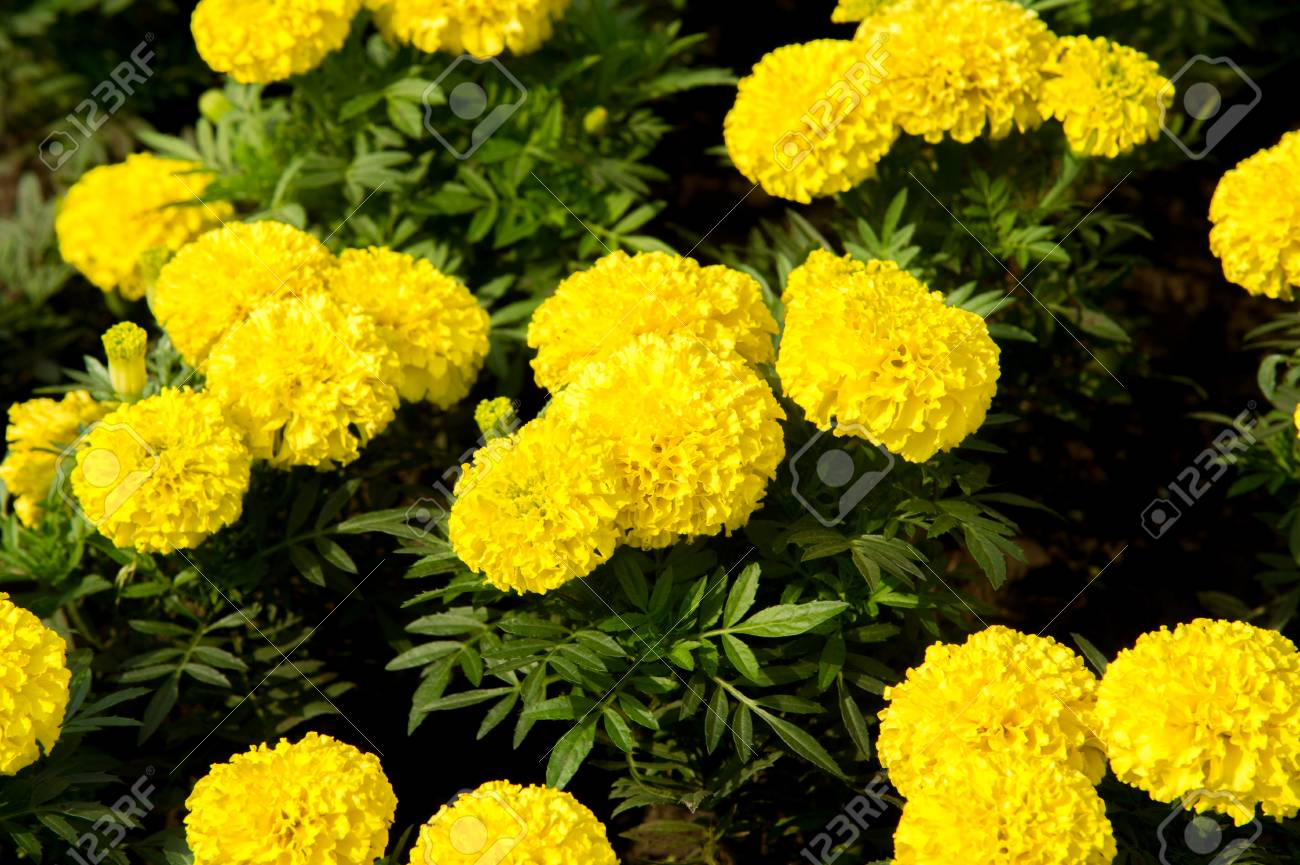 Marigolds flowers a plant of the daisy family typically with marigolds flowers a plant of the daisy family typically with yellow orange izmirmasajfo