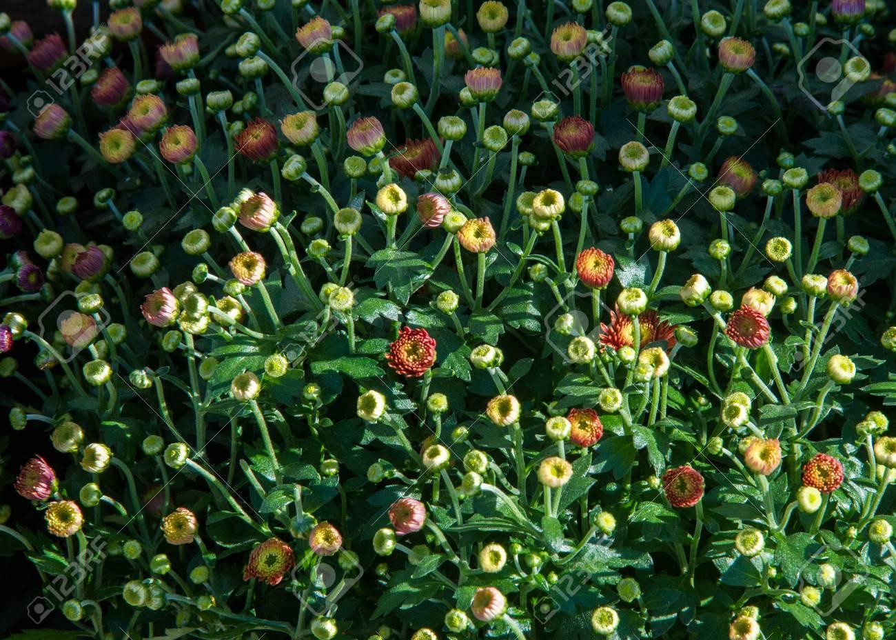 Chrysanthemum flowers unblown a popular plant of the daisy family chrysanthemum flowers unblown a popular plant of the daisy family having brightly colored ornamental izmirmasajfo