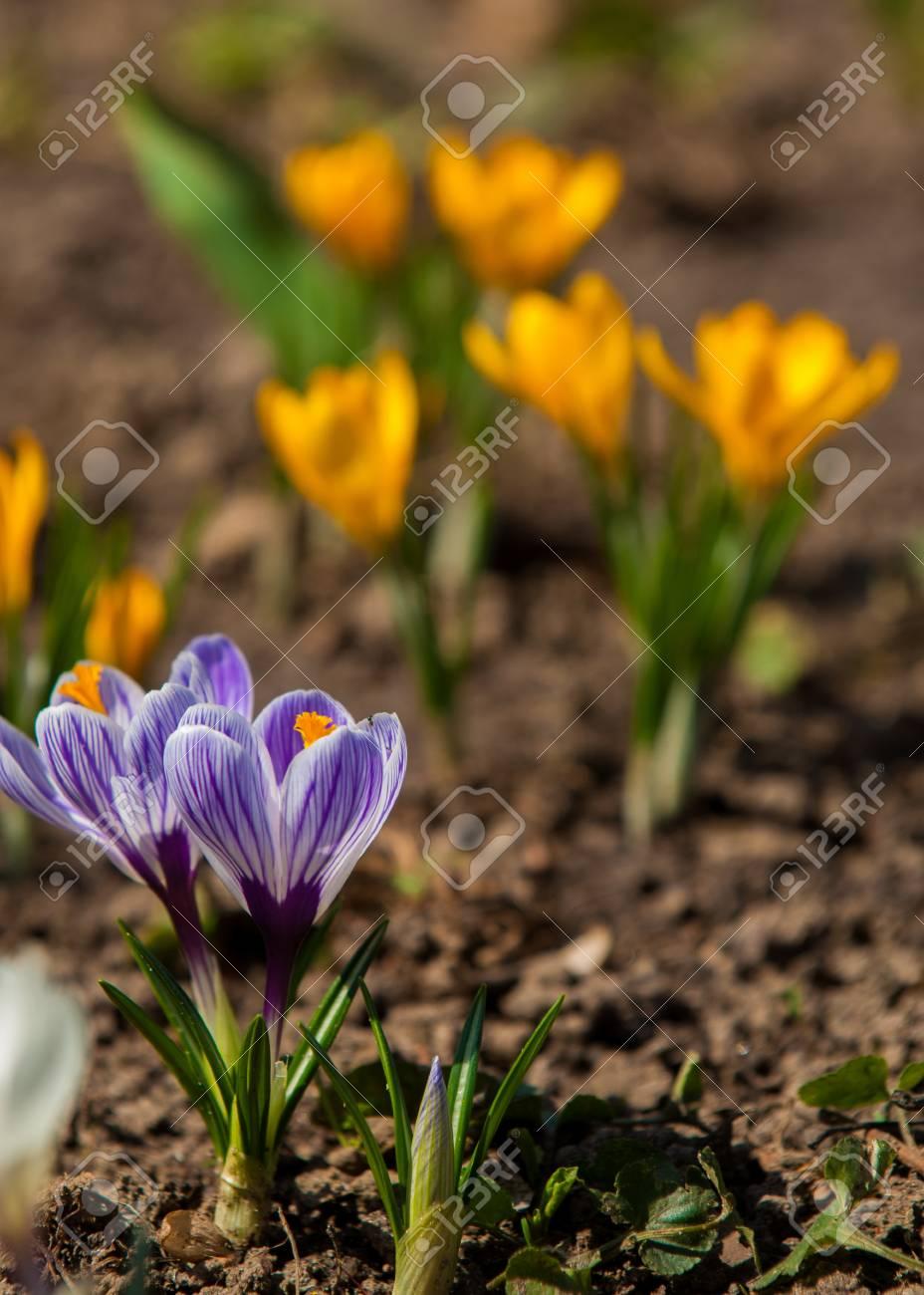 Primeln Bluhender Krokus Einer Der Ersten Blumen Zum Fruhling Die