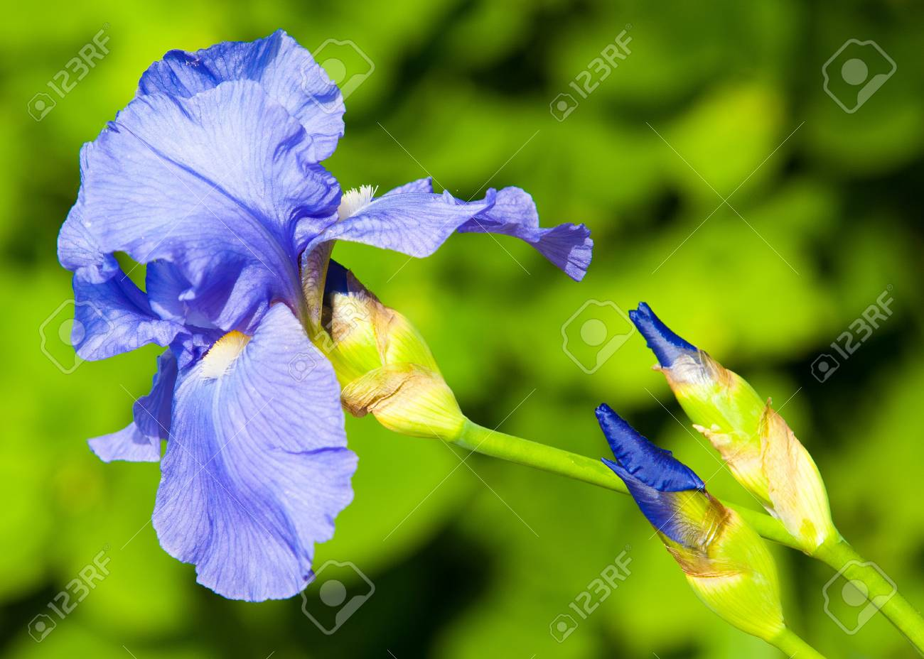 Gladiolus sword lily gladiole glad an old world plant of stock gladiolus sword lily gladiole glad an old world plant of the iris izmirmasajfo