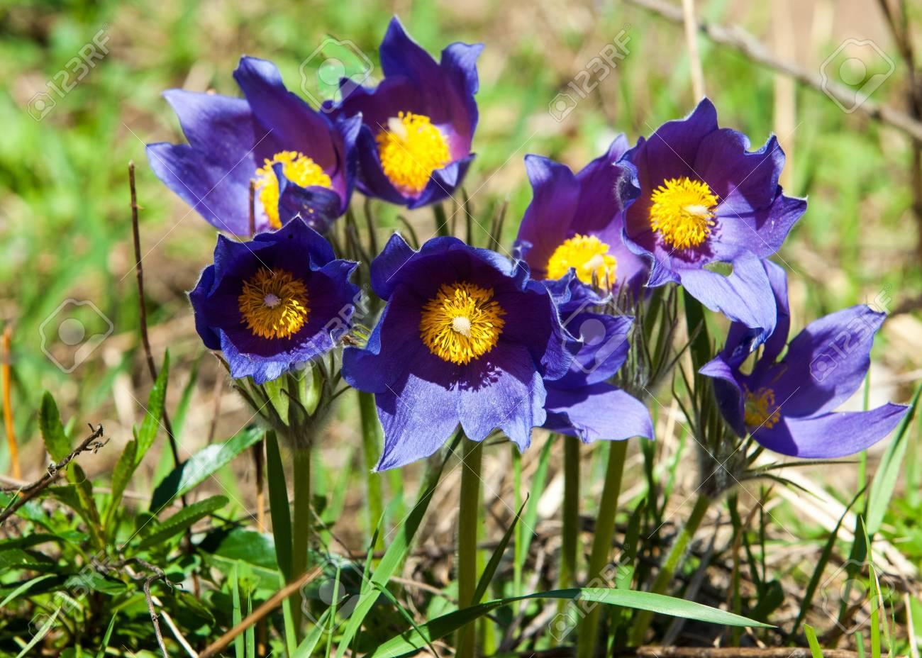 d569877bfb1c Pasque Flower
