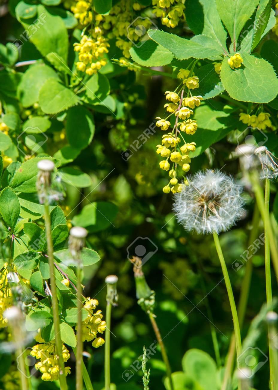 Arbusto A Fiori Gialli fiori crespino, un arbusto spinoso che porta fiori gialli e bacche rosse o  blu-nero.