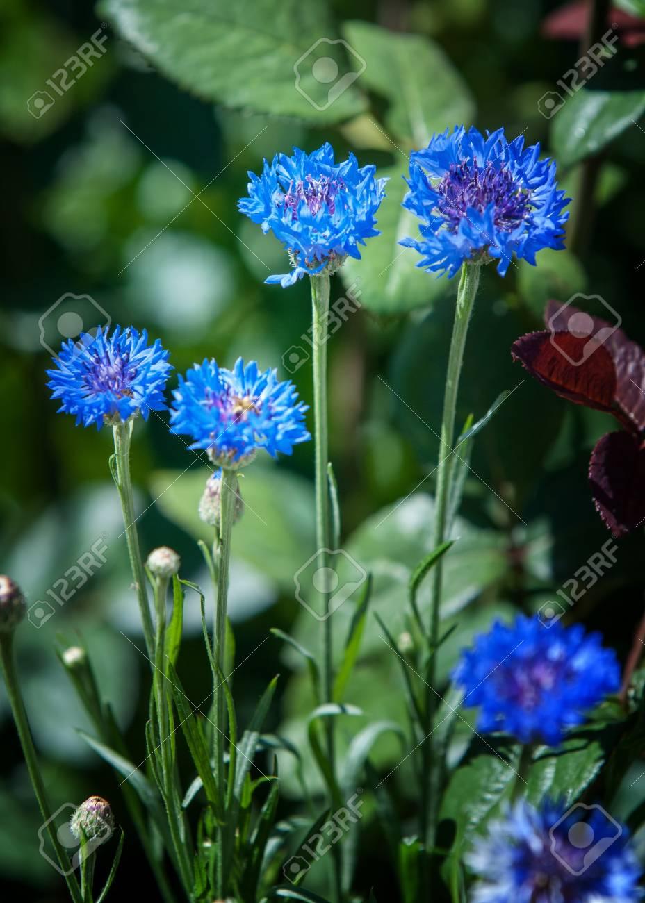 Flowers cornflowers a slender eurasian plant related to the stock flowers cornflowers a slender eurasian plant related to the knapweed with flowers that are izmirmasajfo