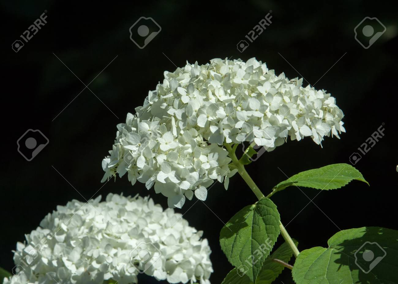 Decorative Bush Viburnum Or Buldonezh Viburnum With White Flowers