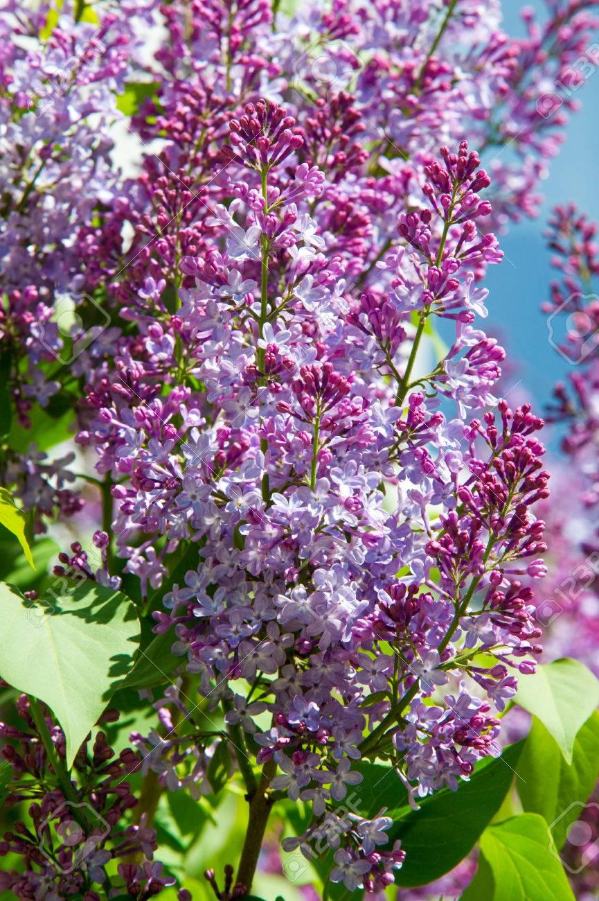 Texture, modèle, fond. fleurs de lilas. d\'une couleur rose-violet pâle.  Grand arbuste de jardin avec des fleurs odorantes violettes ou blanches.