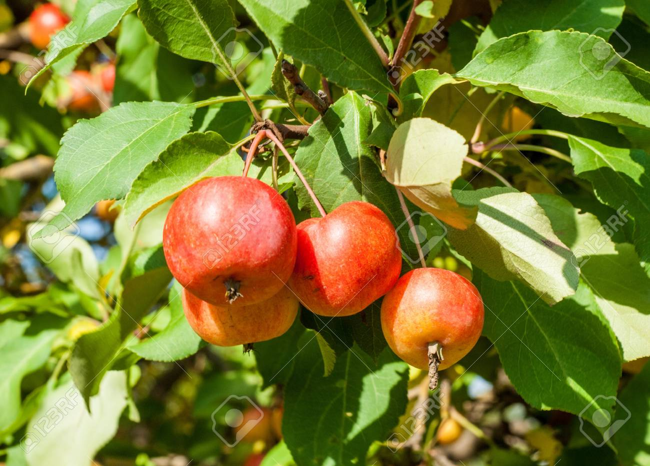 Ornamental Crabapple Fruit