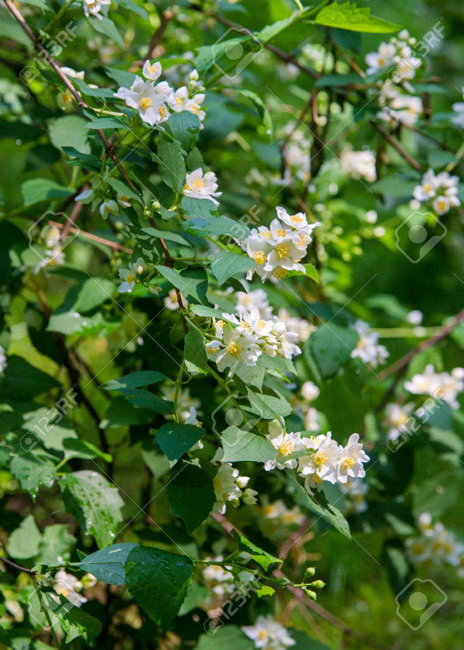 Jasmine Flowers An Old World Shrub Or Climbing Plant That Bears