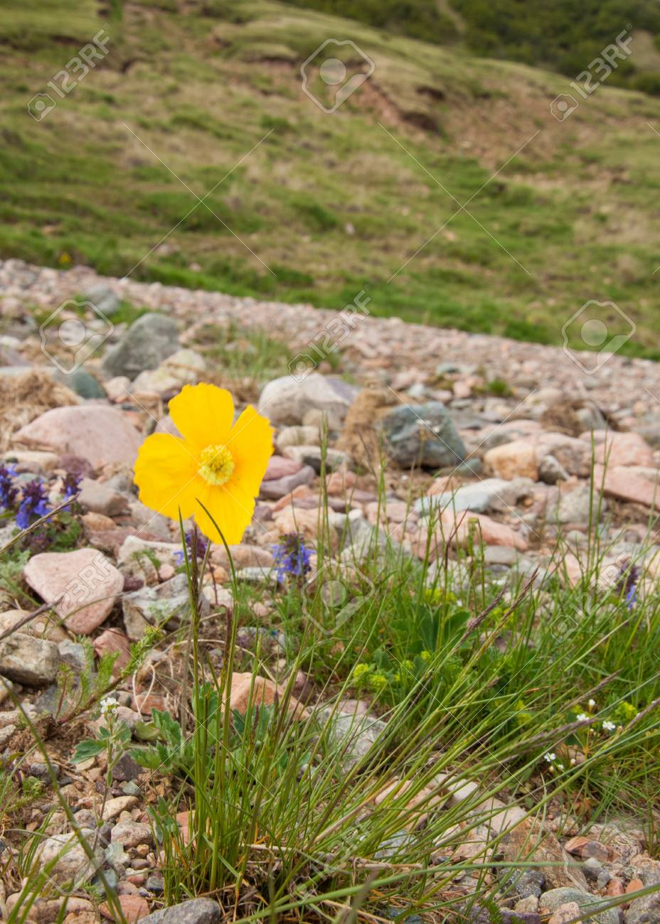 Yellow Poppies A Herbaceous Plant With Showy Flowers Milky Stock