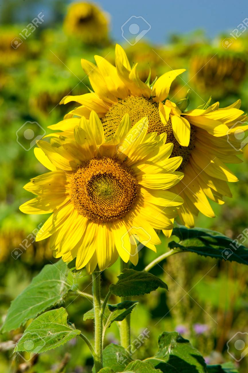 A field of sunflowers a tall north american plant of the daisy a field of sunflowers a tall north american plant of the daisy family with izmirmasajfo