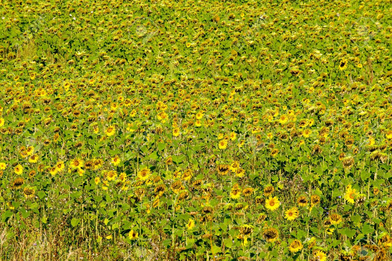 A Field Of Sunflowers A Tall North American Plant Of The Daisy