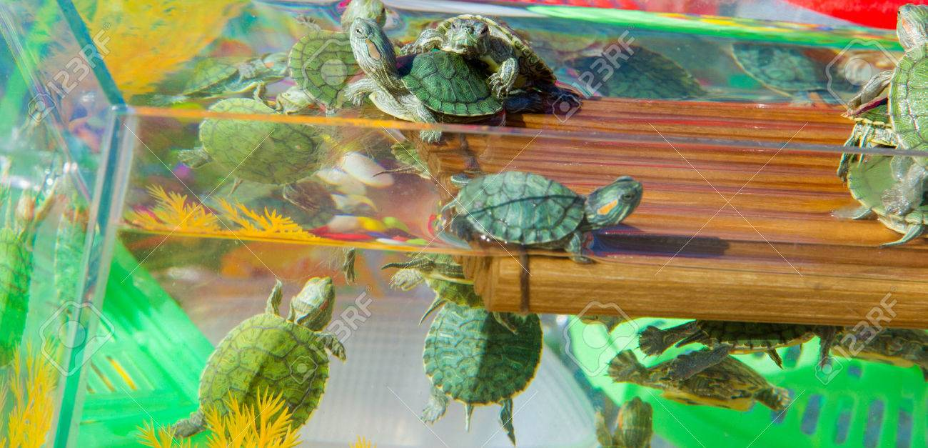 Turtle Aquarium Small Turtles Are Sold In The Market As Pets Stock Photo Picture And Royalty Free Image Image 77595017