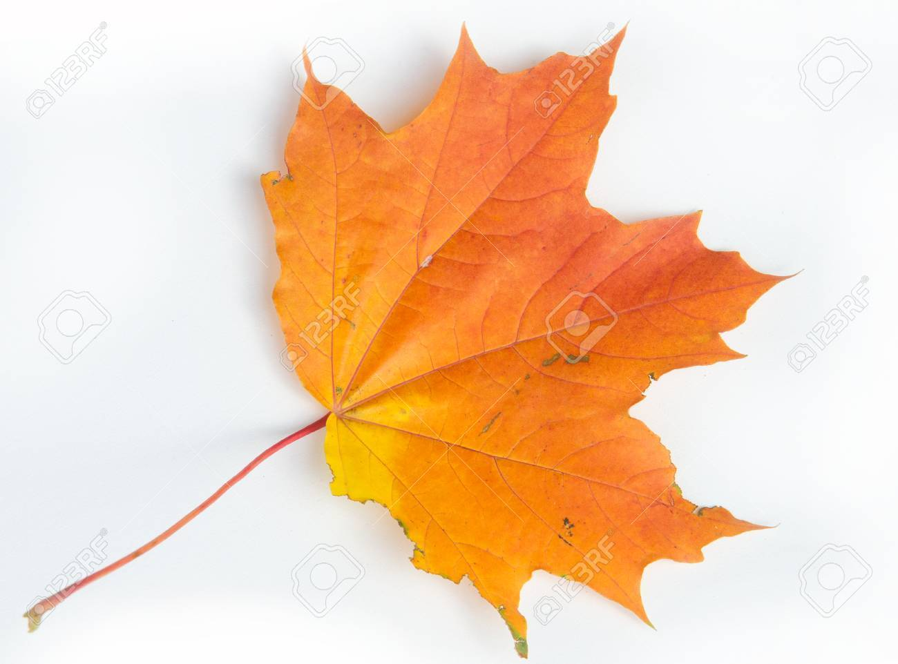 Autumn Leaves Studio Autumn Leaf Isolated On White Background Stock Photo Picture And Royalty Free Image Image 77595077