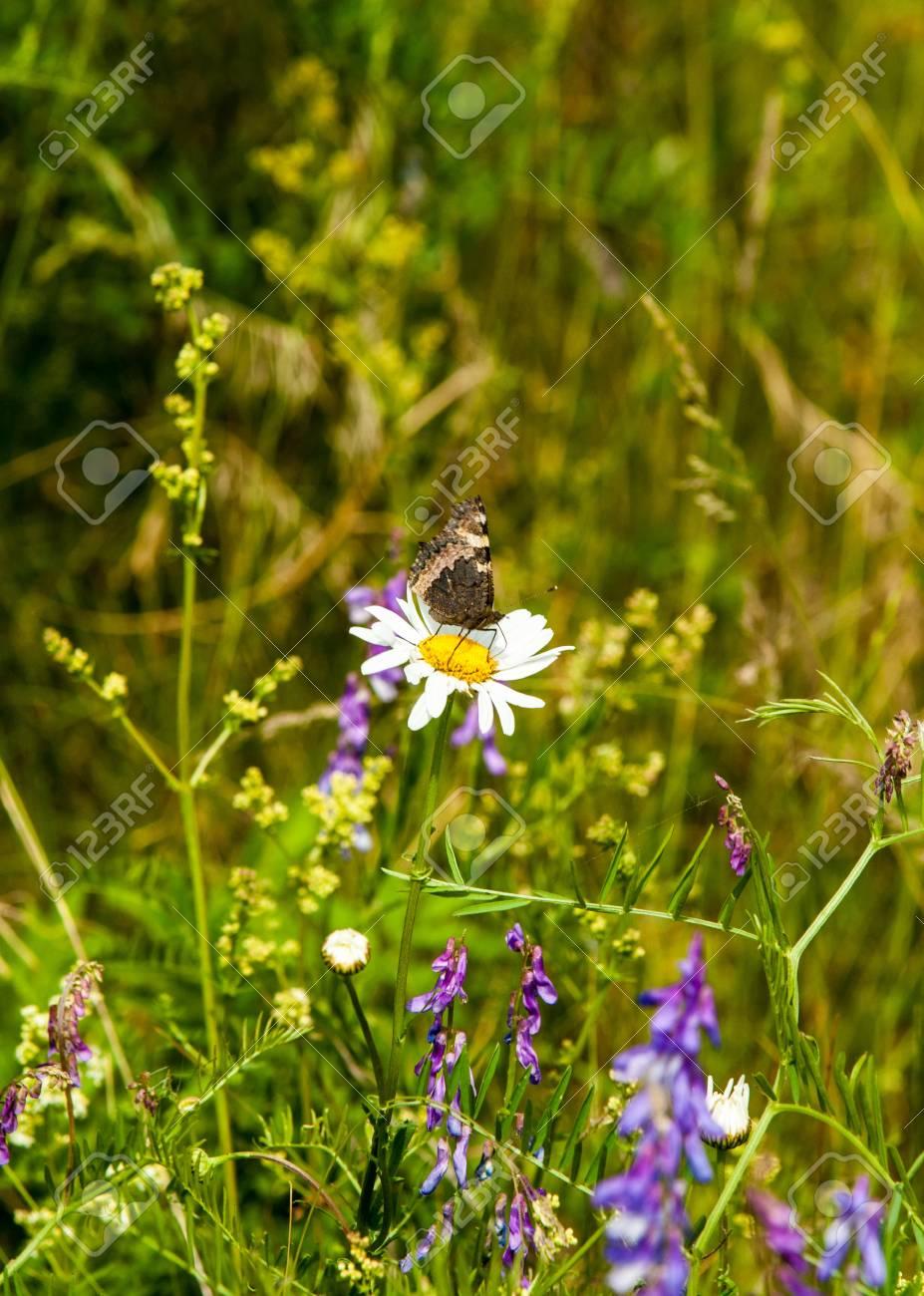 Feld Erbse Blumen Maus. Süße Erbsen Blüht. Süße Erbse Lizenzfreie ...