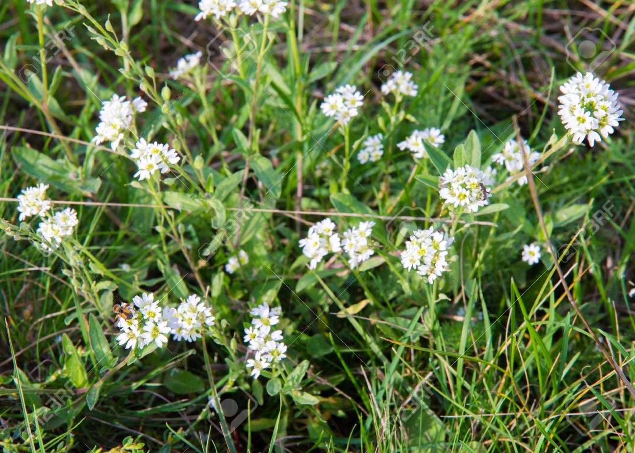 Petite Snow White Flowers Of Lobularia Maritima Alyssum Maritimum