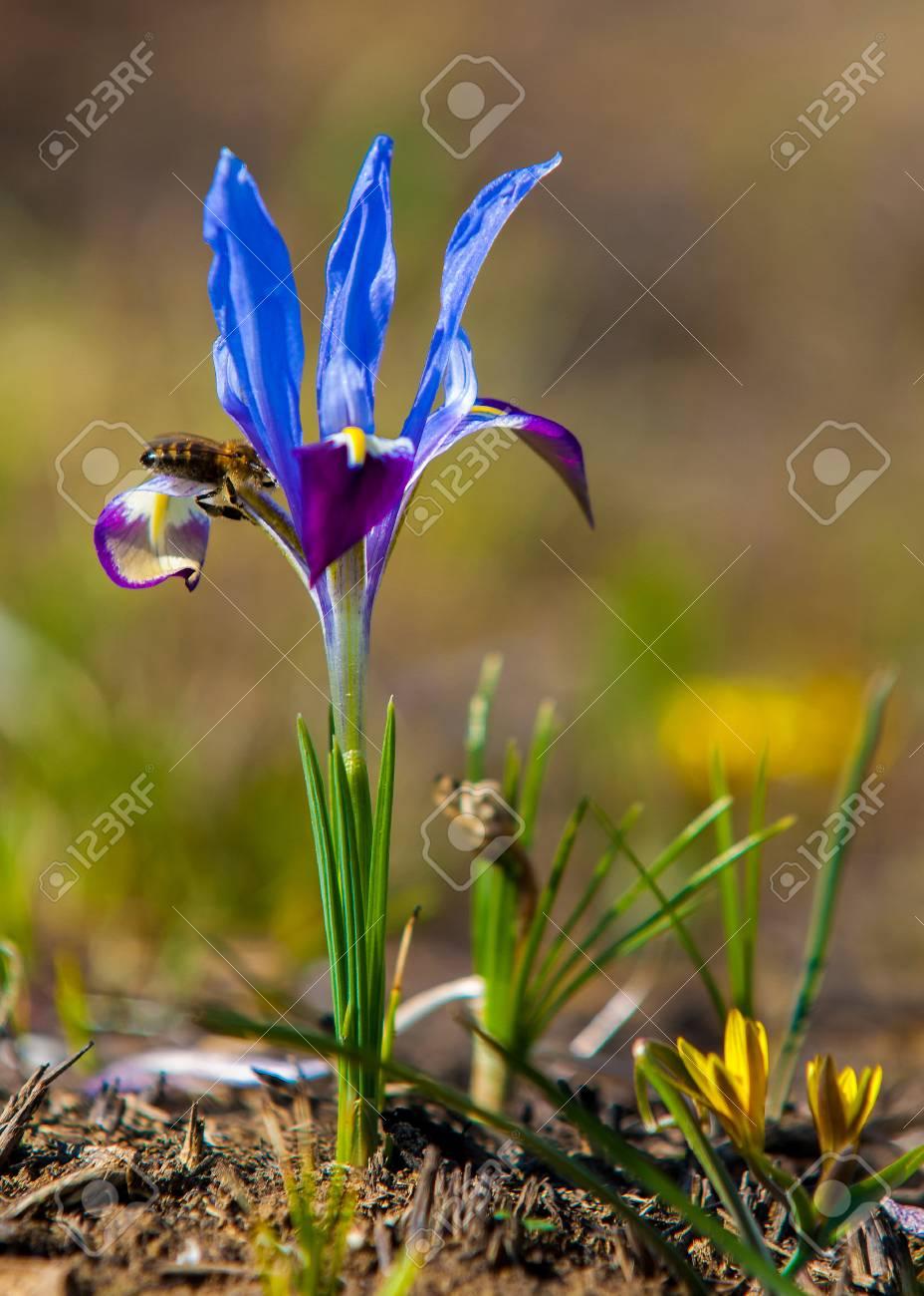 Beautiful purple iris flowers dark blue irises blossoming in beautiful purple iris flowers dark blue irises blossoming in a garden beautiful flowers of izmirmasajfo