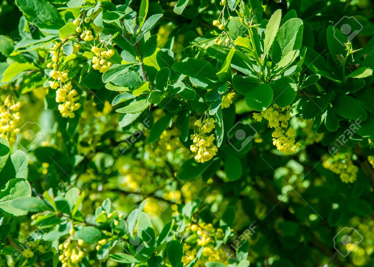 Flowers Barberry A Thorny Shrub That Bears Yellow Flowers And