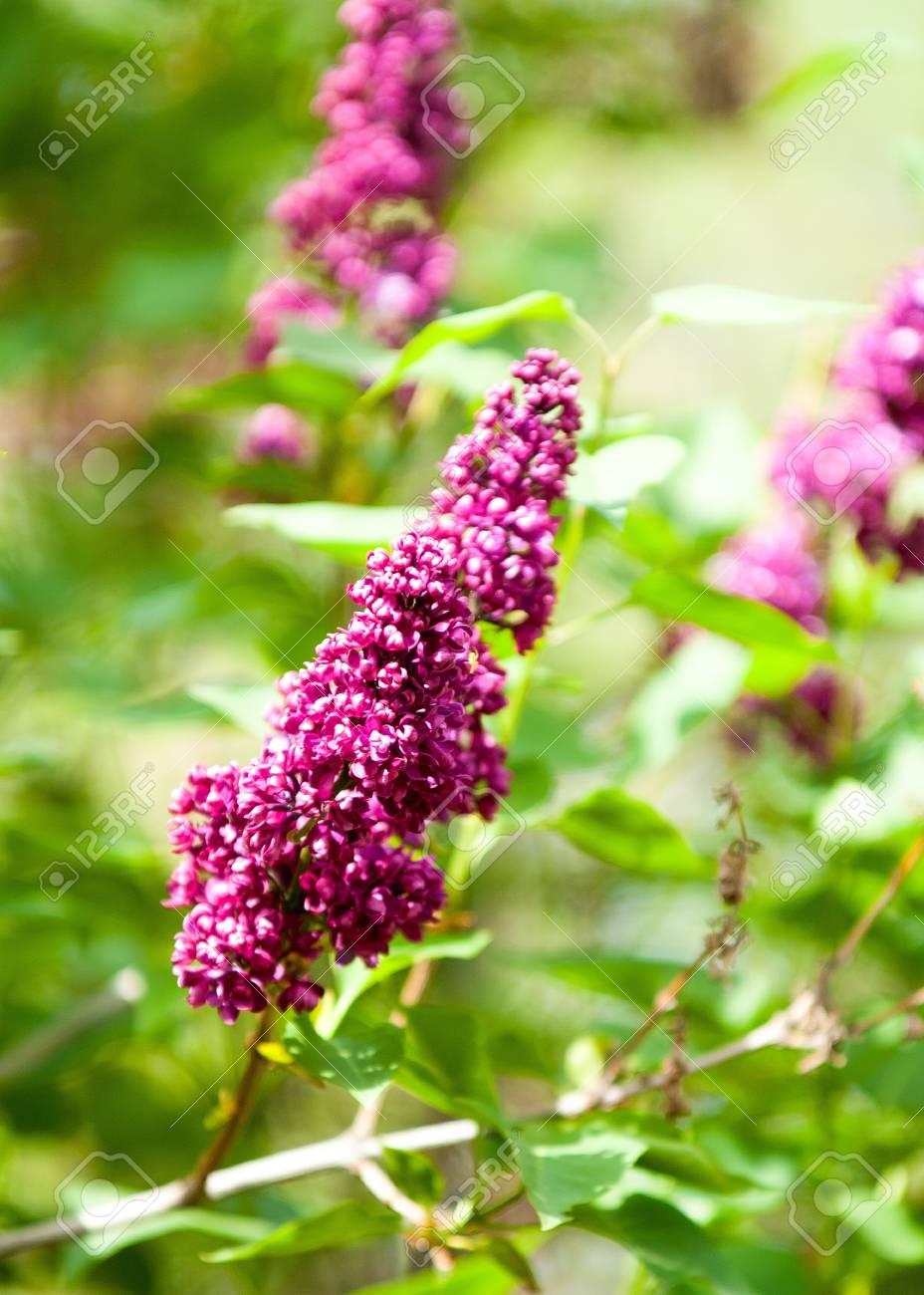 Lila Blumen Großer Gartenstrauch Mit Lila Oder Weißen Duftenden