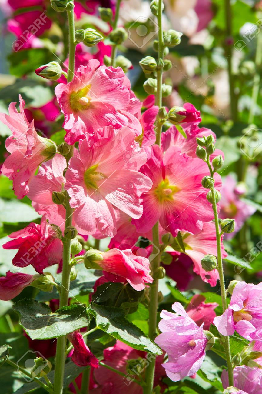 Mallow Flowers A Herbaceous Plant With Hairy Stems Pink Or Stock