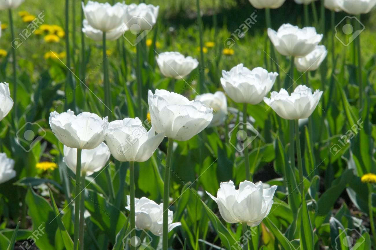 Primo piano di fiori bianchi di tulipani bianchi. Priorità bassa del fiore.  Disegno del paesaggio del giardino estivo.