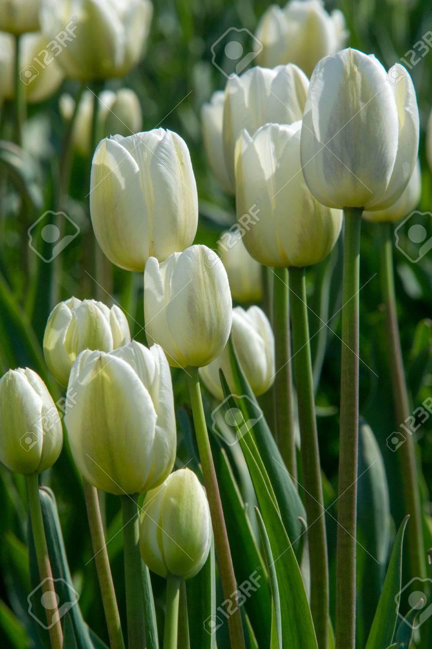 Fiori Tulipani.Immagini Stock Una Foto Di Fiori Primo Piano Di Fiori Bianchi