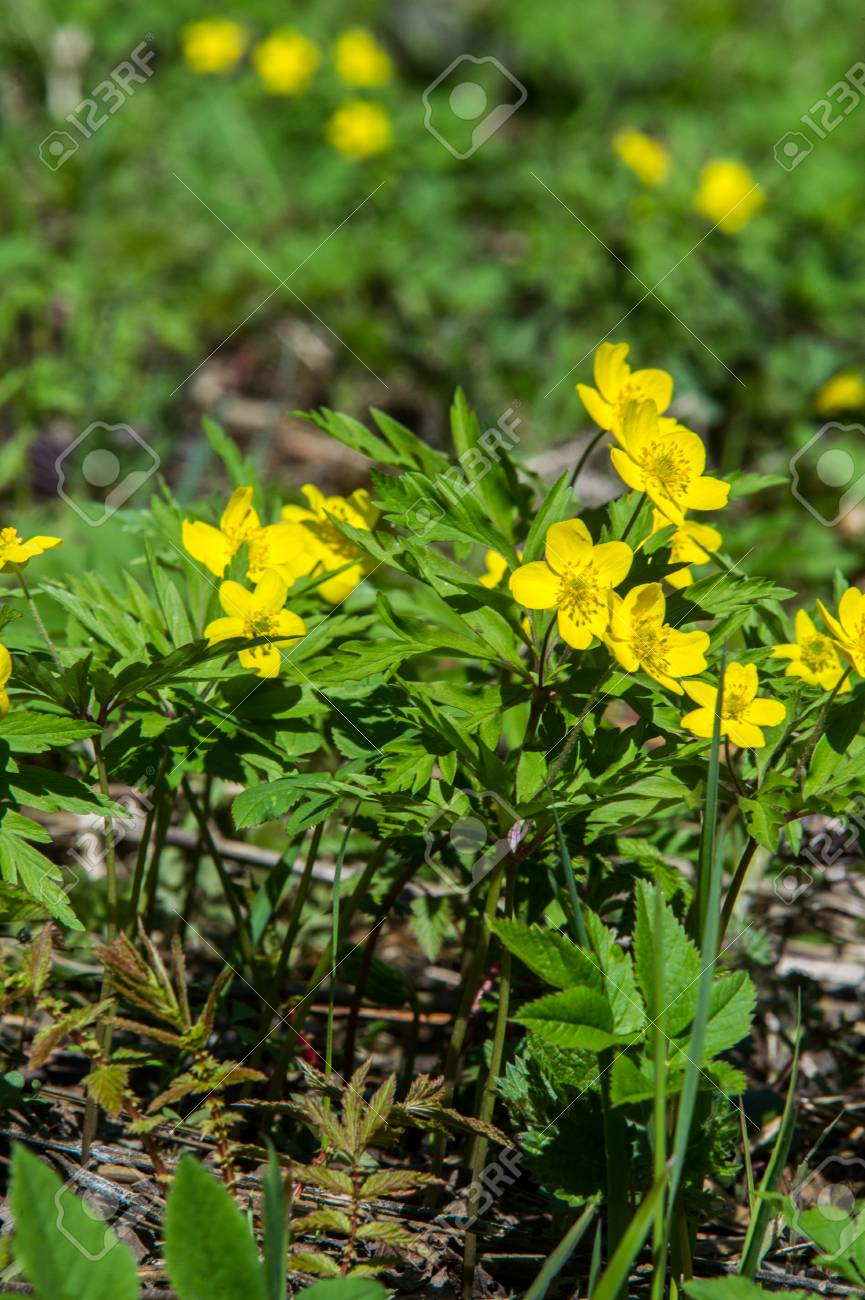 Anemone Yellow Forest Flower Is A Genus Of About 200 Species Stock