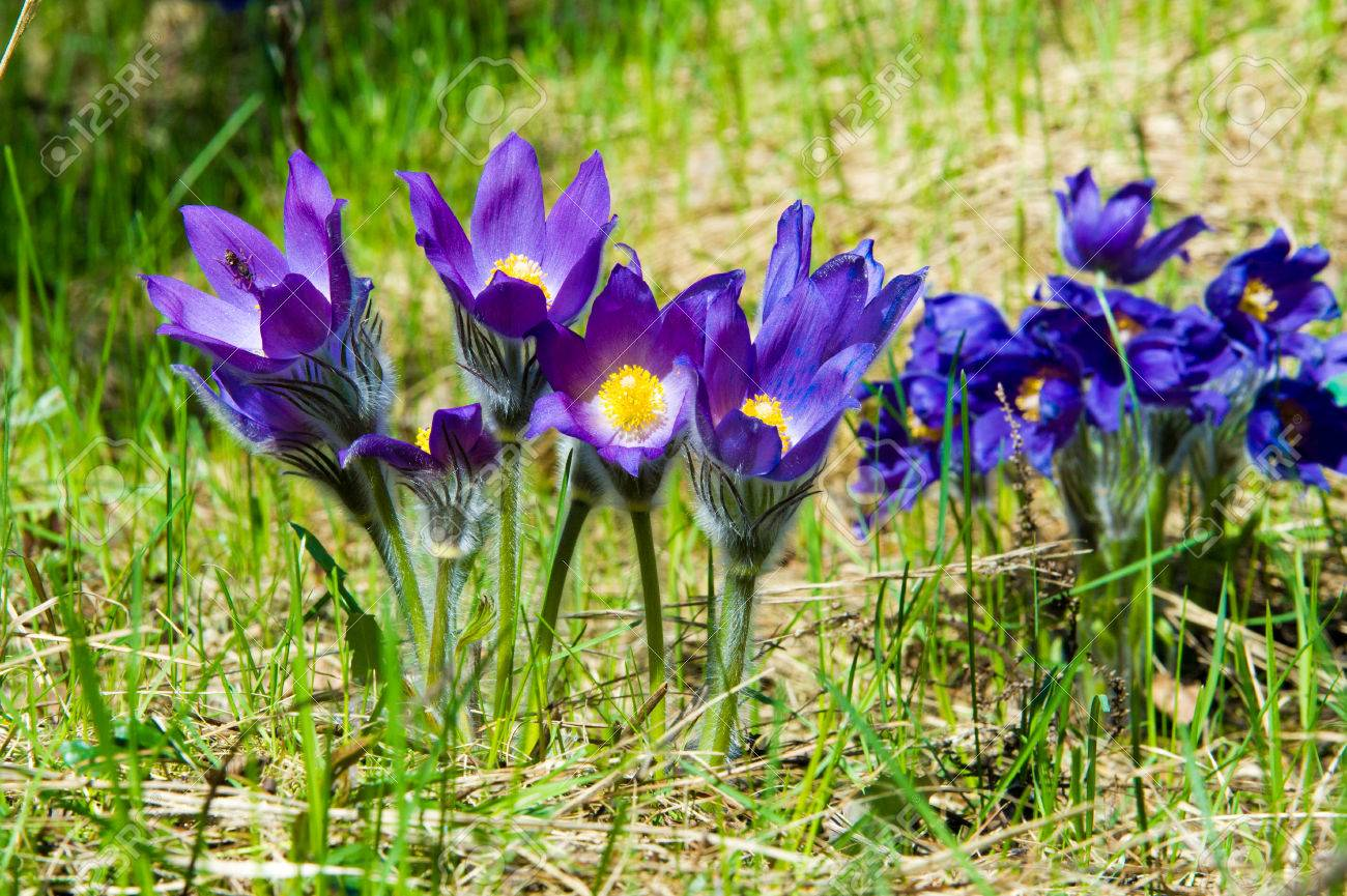 Superb Spring Landscape. Flowers Growing In The Wild. Spring Flower Pulsatilla.  Common Names Include