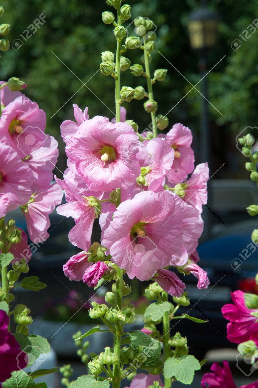 Mallow flowers a herbaceous plant with hairy stems pink or stock mallow flowers a herbaceous plant with hairy stems pink or purple flowers and mightylinksfo