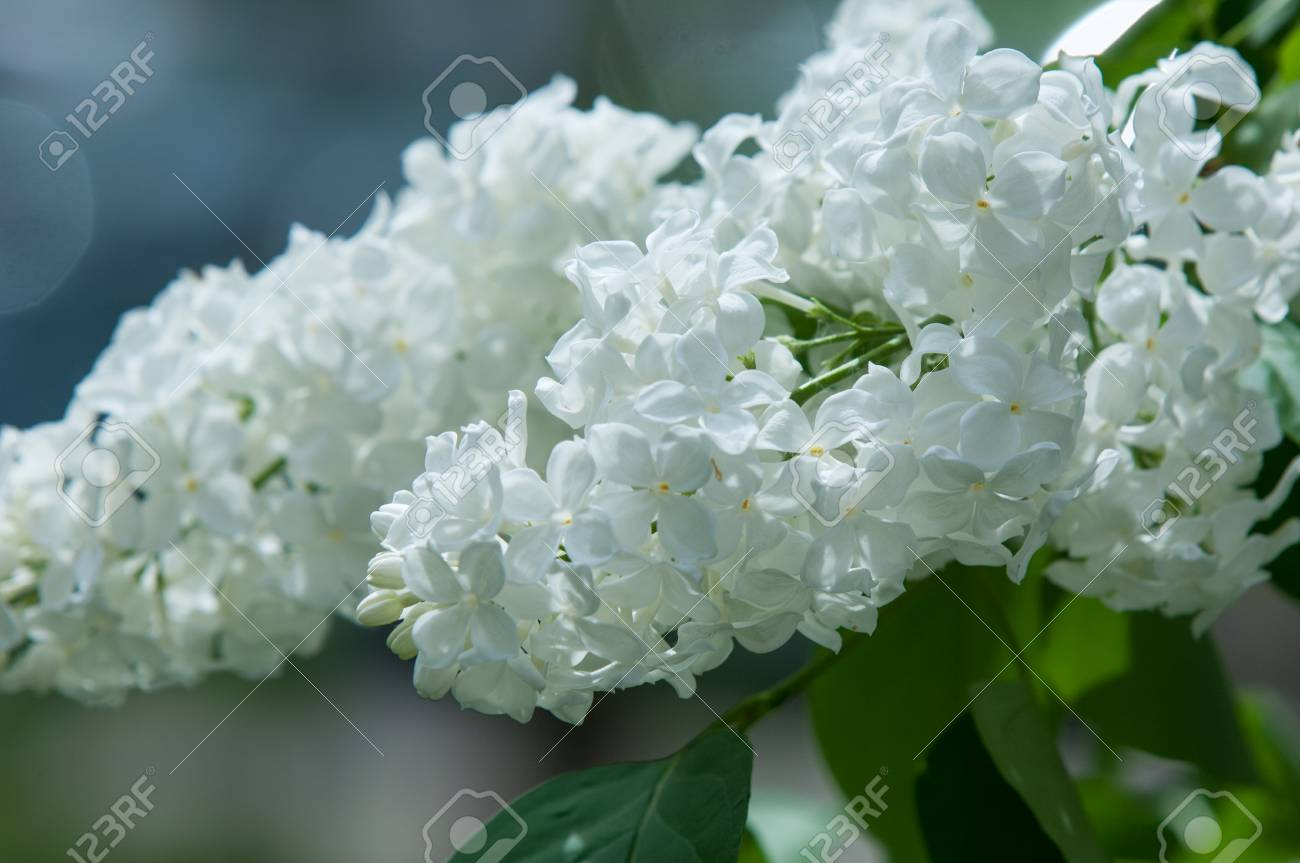 Flowers White Lilac On A Background Of Green Leaves Close Up